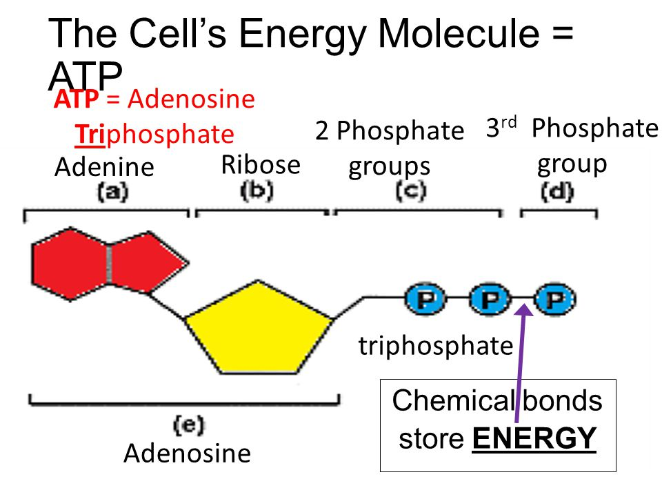 The Cell's Energy Molecule = ATP