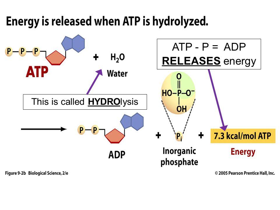 ATP - P = ADP RELEASES energy
