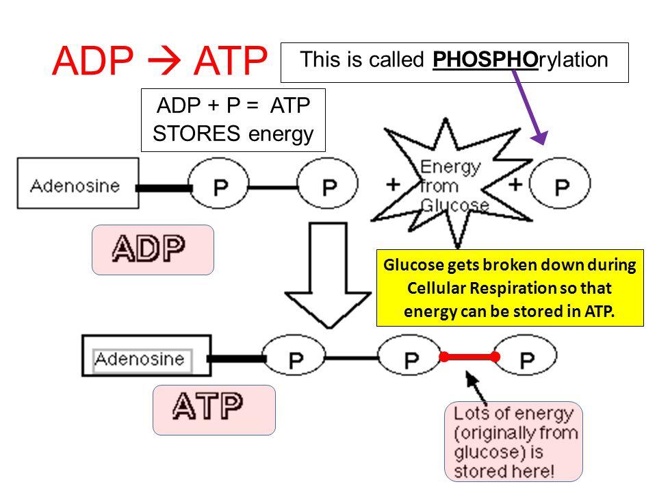 ADP  ATP This is called PHOSPHOrylation ADP + P = ATP STORES energy