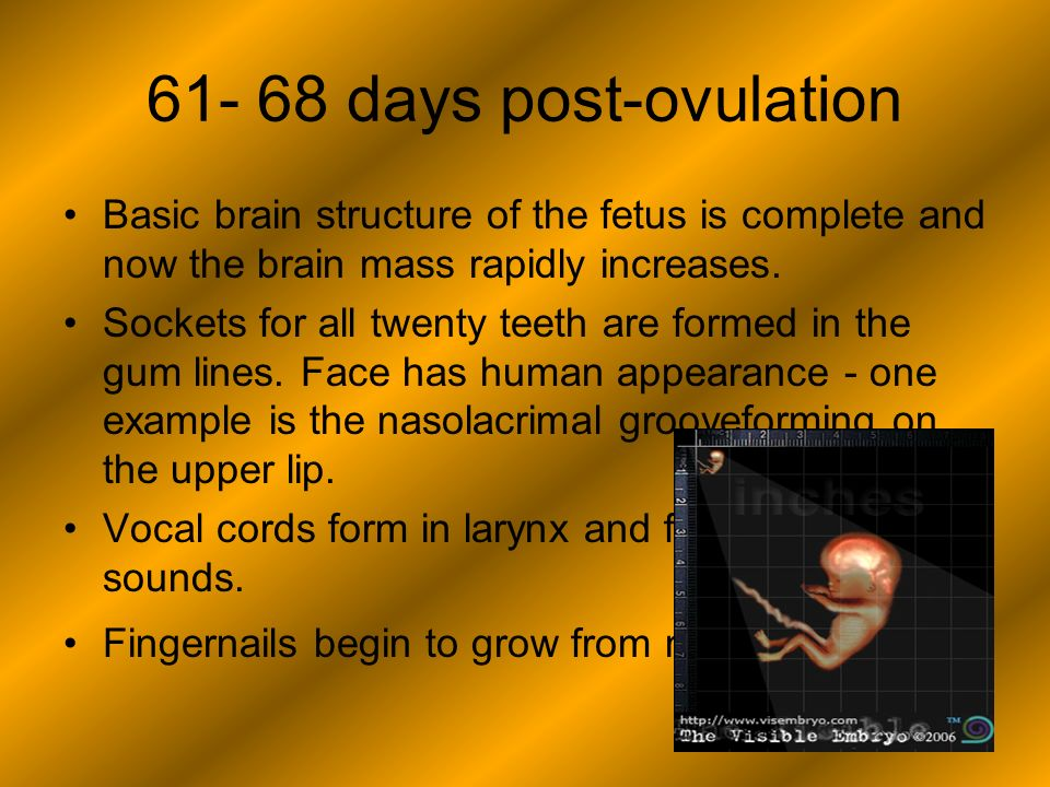 61- 68 days post-ovulation Basic brain structure of the fetus is complete and now the brain mass rapidly increases.