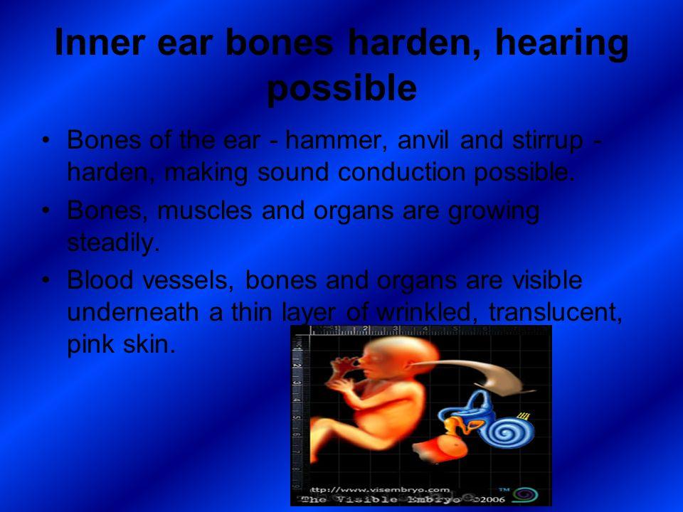 Inner ear bones harden, hearing possible