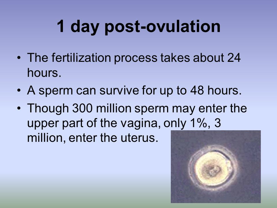 1 day post-ovulation The fertilization process takes about 24 hours.