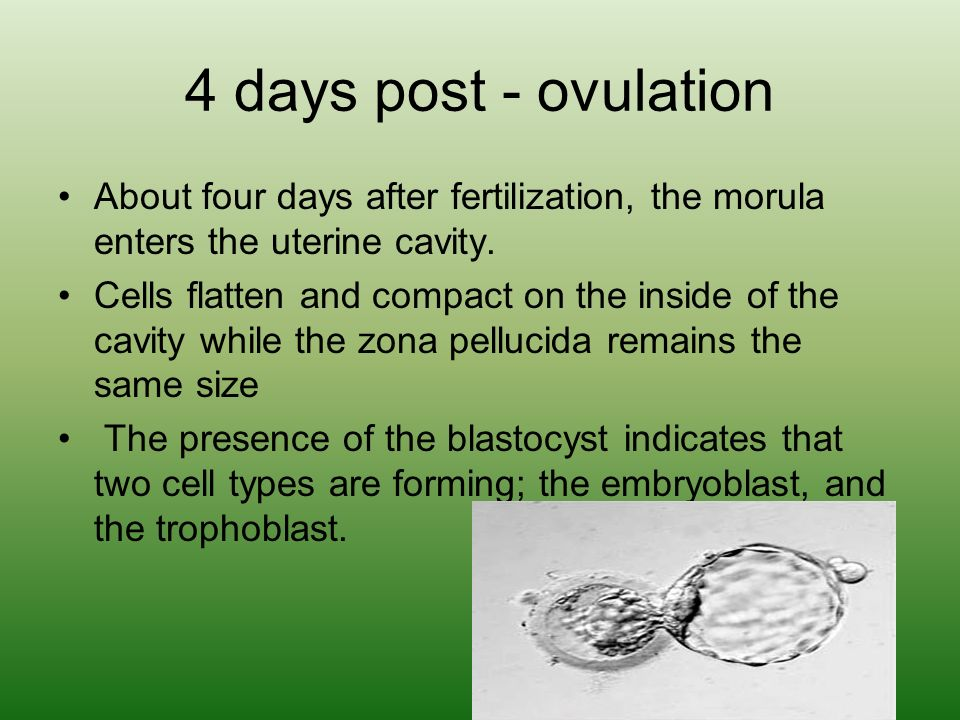 4 days post - ovulation About four days after fertilization, the morula enters the uterine cavity.