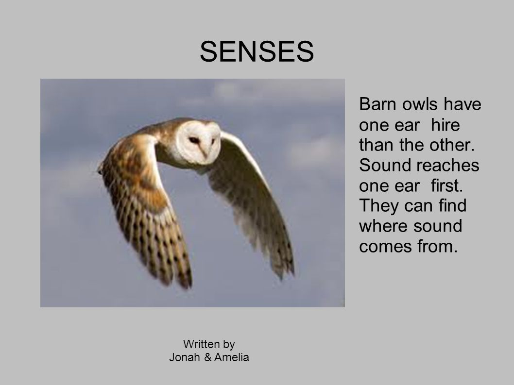 SENSES Barn owls have one ear hire than the other. Sound reaches one ear first. They can find where sound comes from.