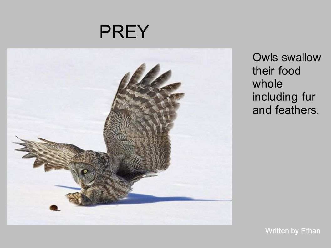 PREY Owls swallow their food whole including fur and feathers.