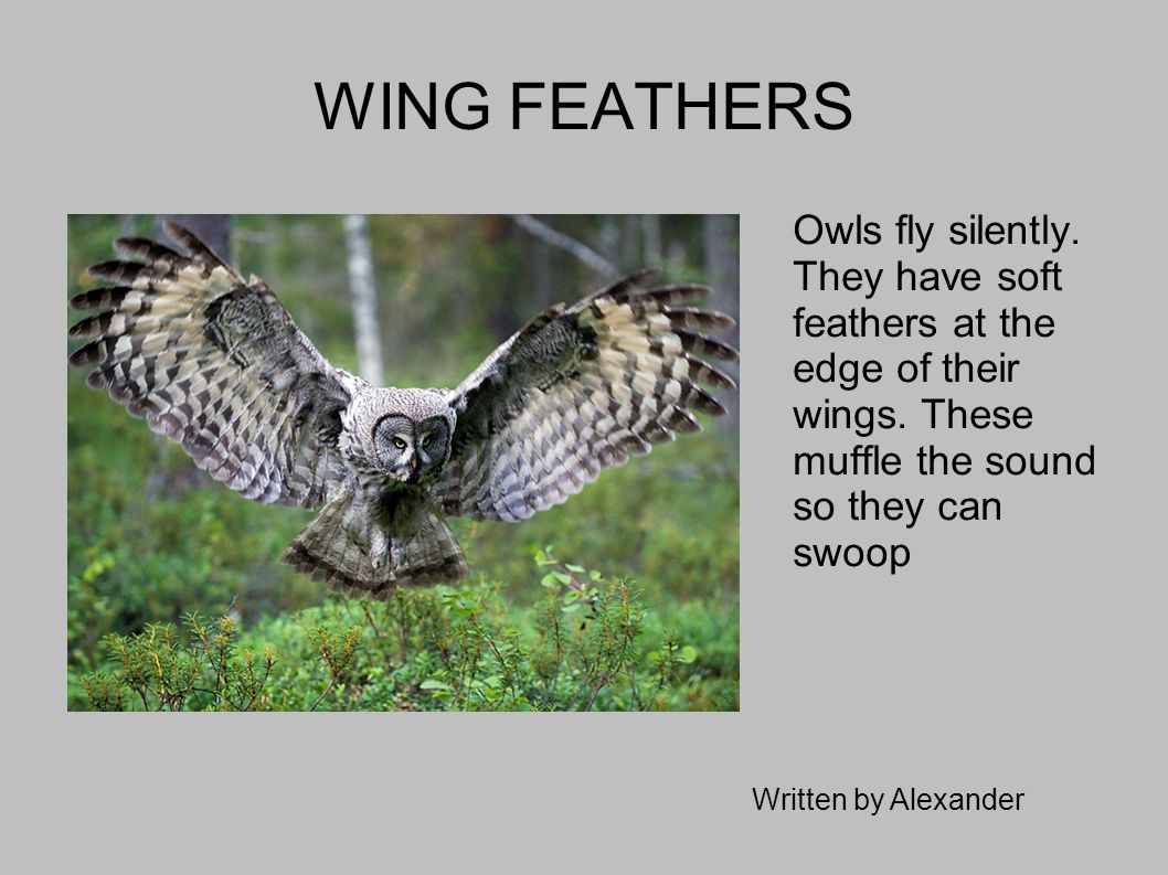 WING FEATHERS Owls fly silently. They have soft feathers at the edge of their wings. These muffle the sound so they can swoop.