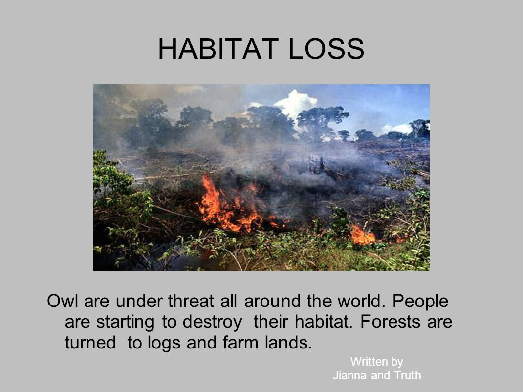 HABITAT LOSS Owl are under threat all around the world. People are starting to destroy their habitat. Forests are turned to logs and farm lands.