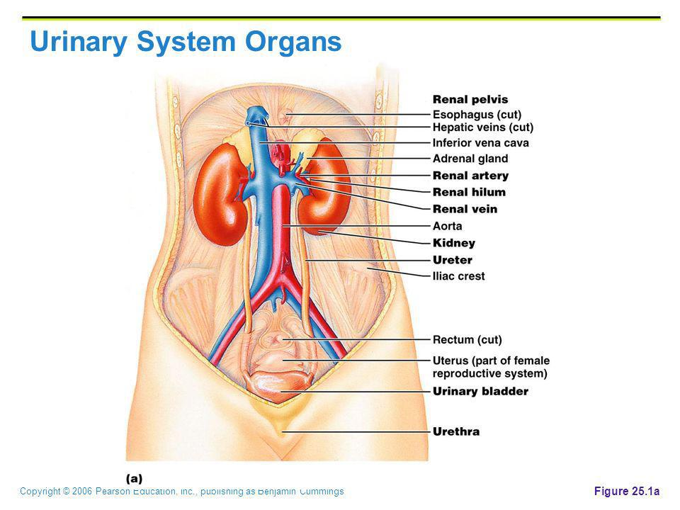 Urinary System Organs Figure 25.1a