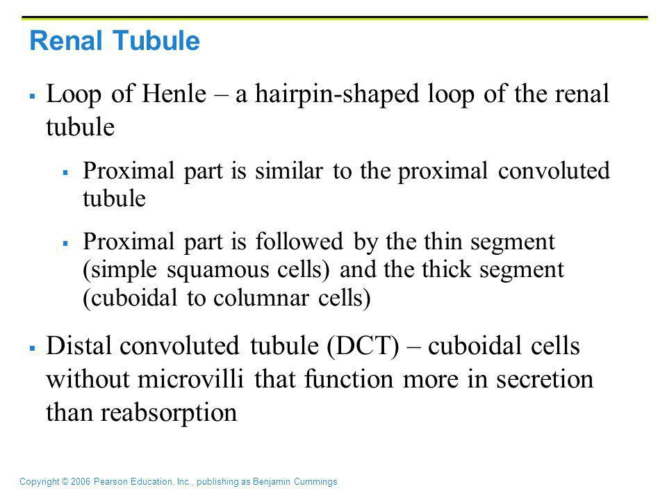 Loop of Henle – a hairpin-shaped loop of the renal tubule