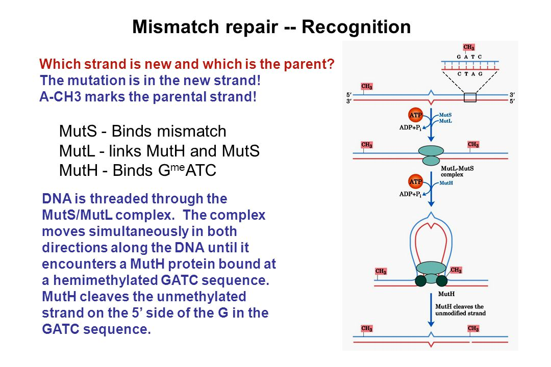 Mismatch repair -- Recognition