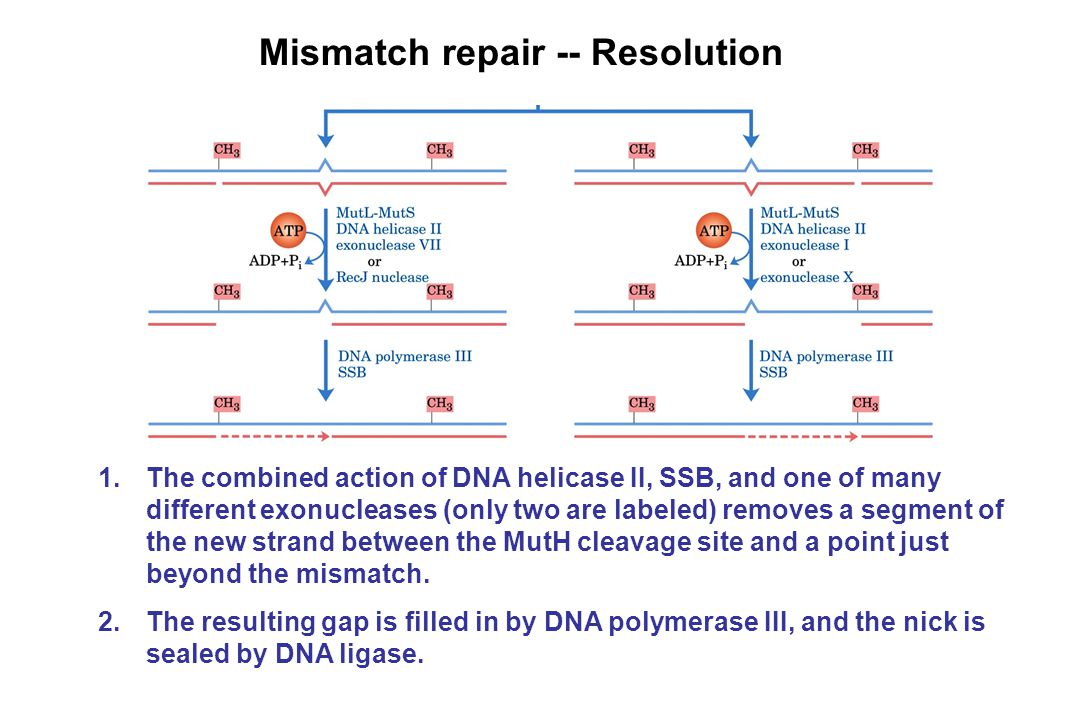 Mismatch repair -- Resolution