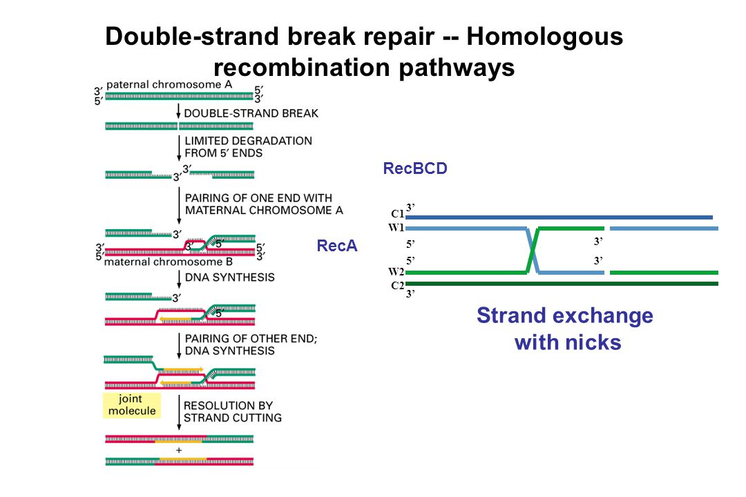 Double-strand break repair -- Homologous recombination pathways
