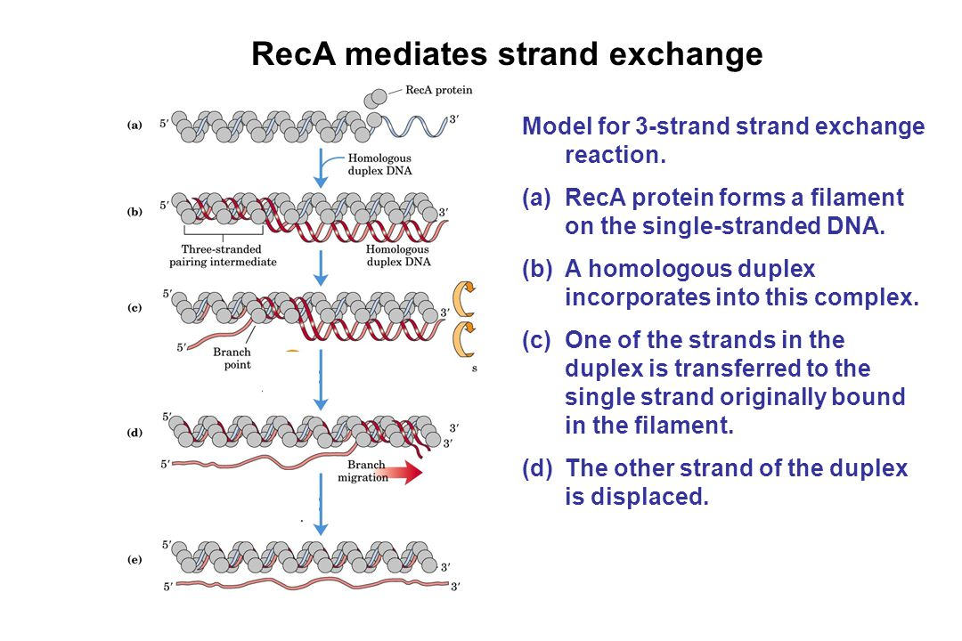RecA mediates strand exchange