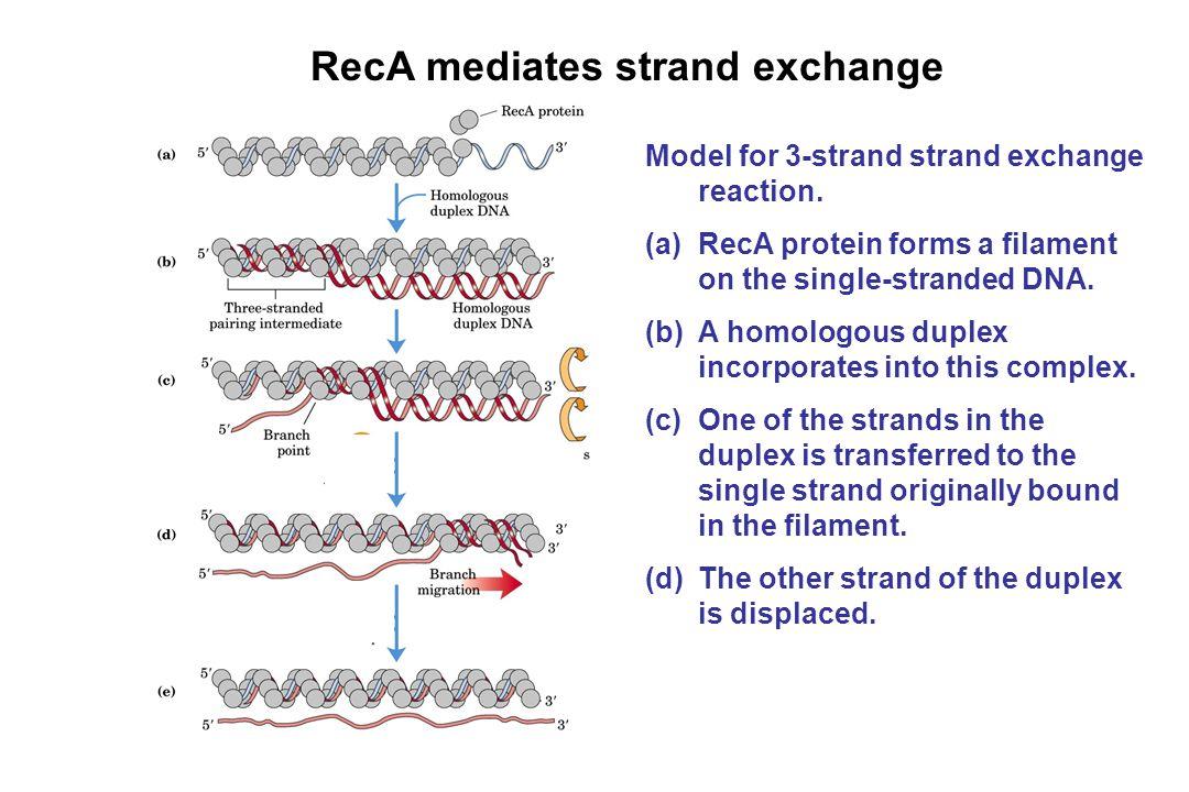 RecA mediates strand exchange