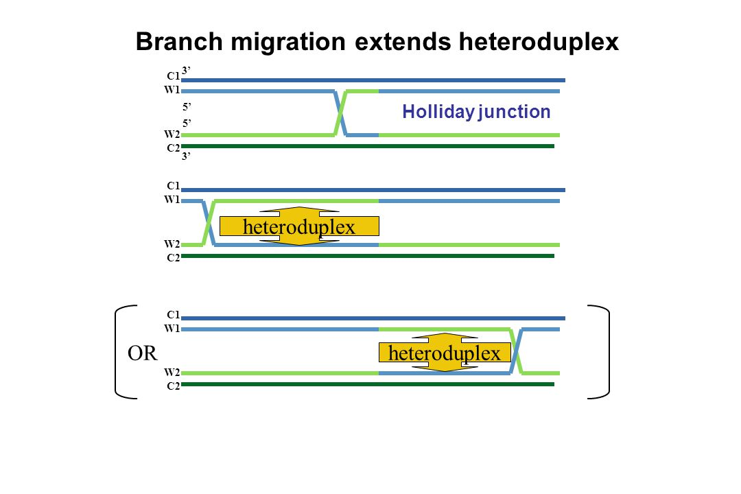 Branch migration extends heteroduplex