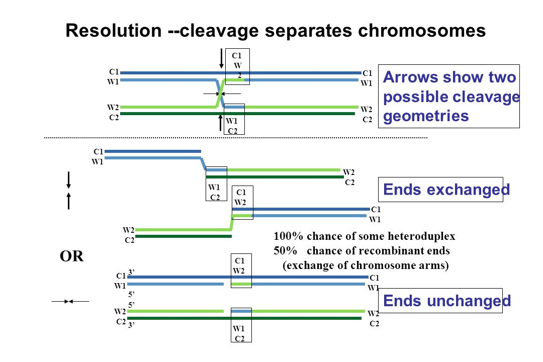 Resolution --cleavage separates chromosomes