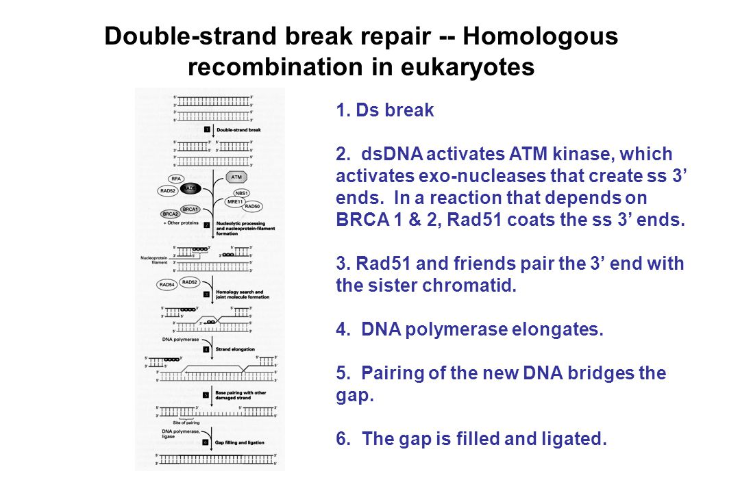Double-strand break repair -- Homologous recombination in eukaryotes