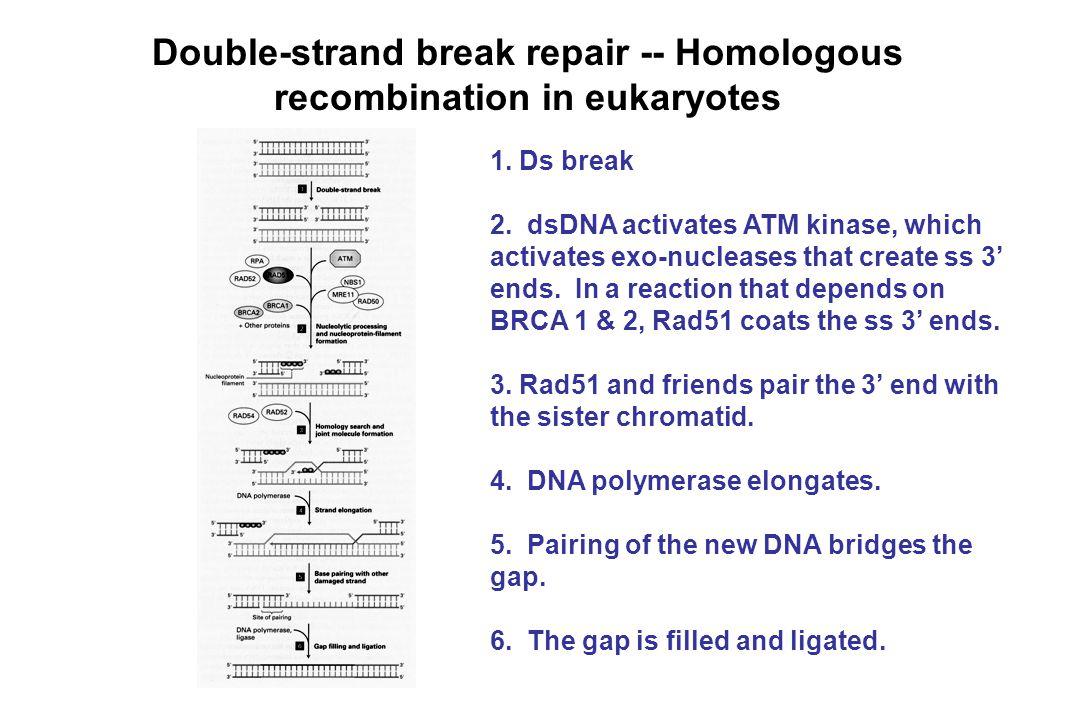 Double-strand break repair -- Homologous recombination in eukaryotes