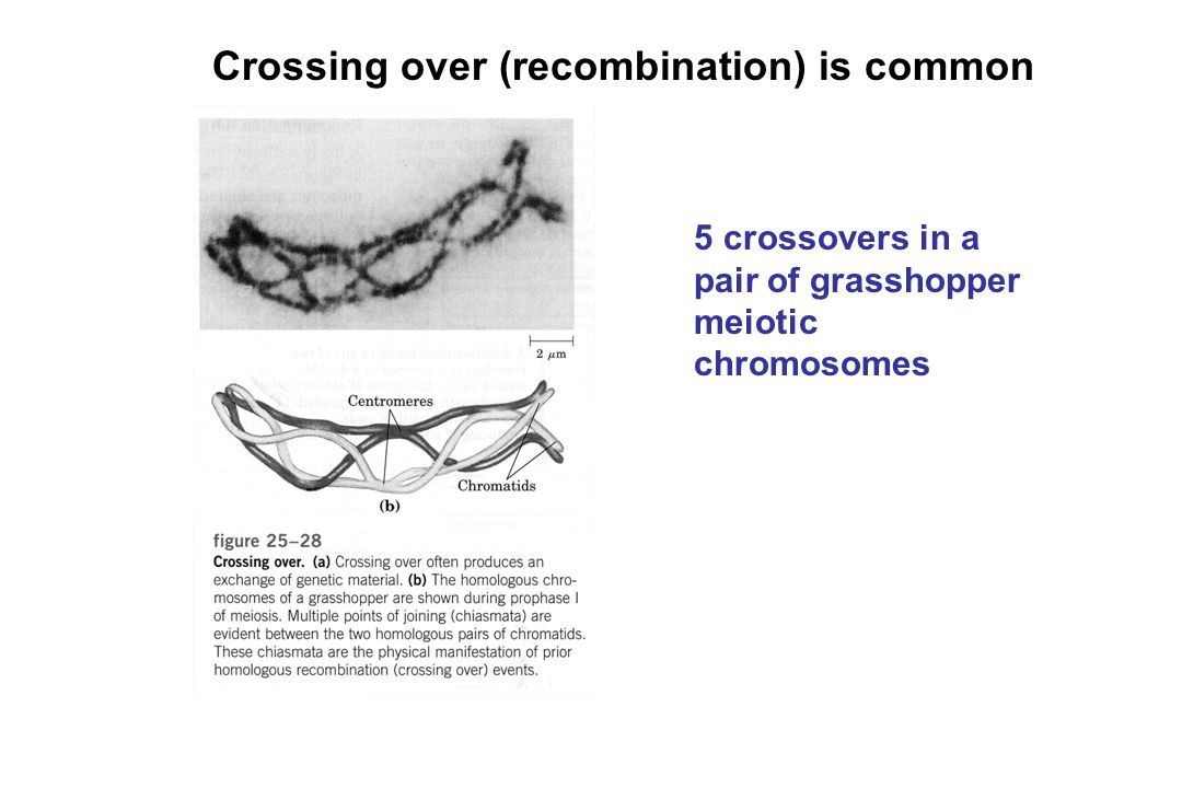 Crossing over (recombination) is common