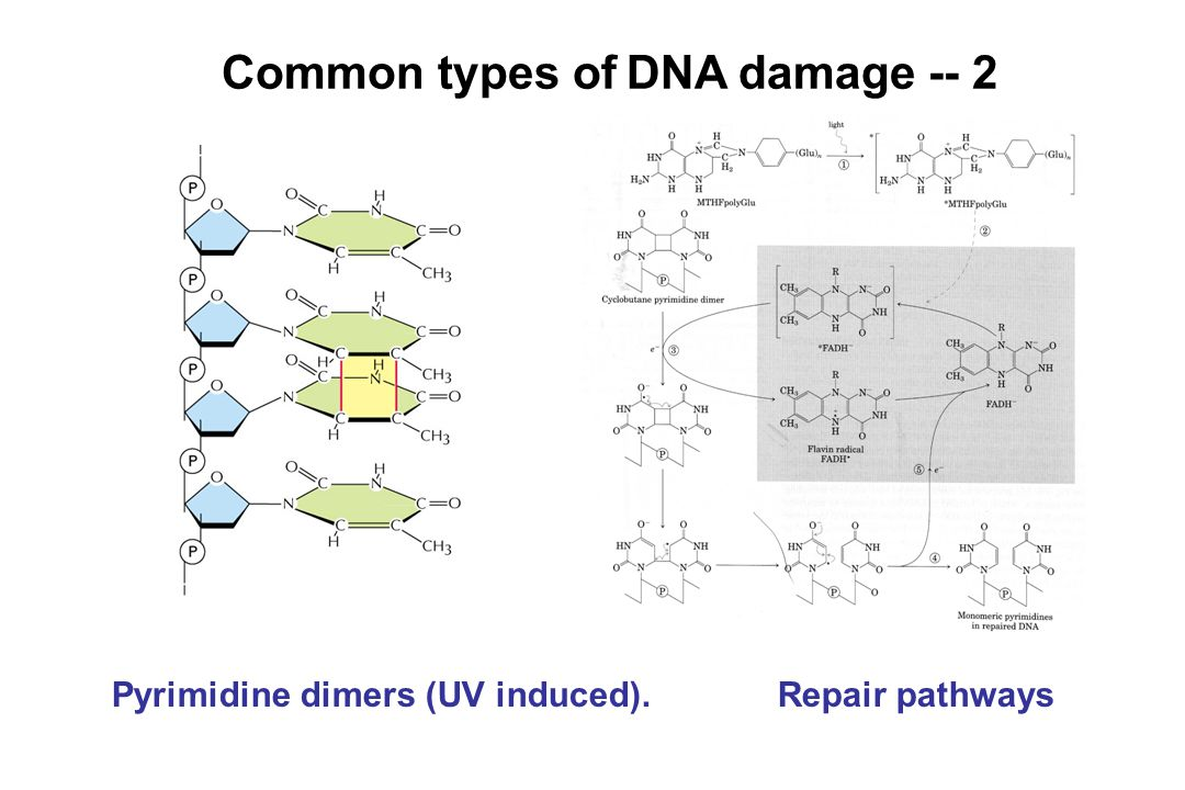 Common types of DNA damage -- 2