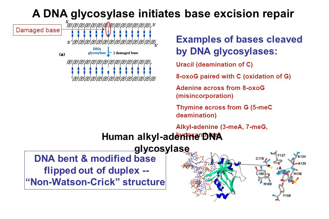 A DNA glycosylase initiates base excision repair