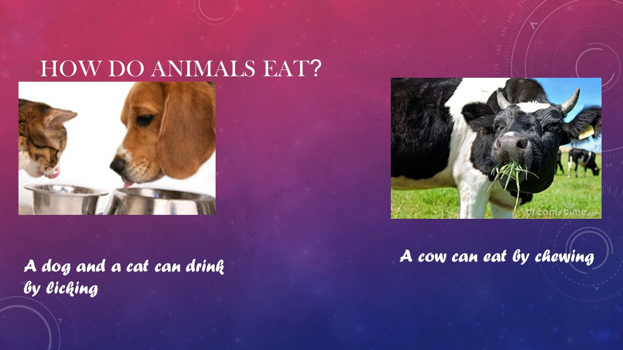 How do animals eat A cow can eat by chewing
