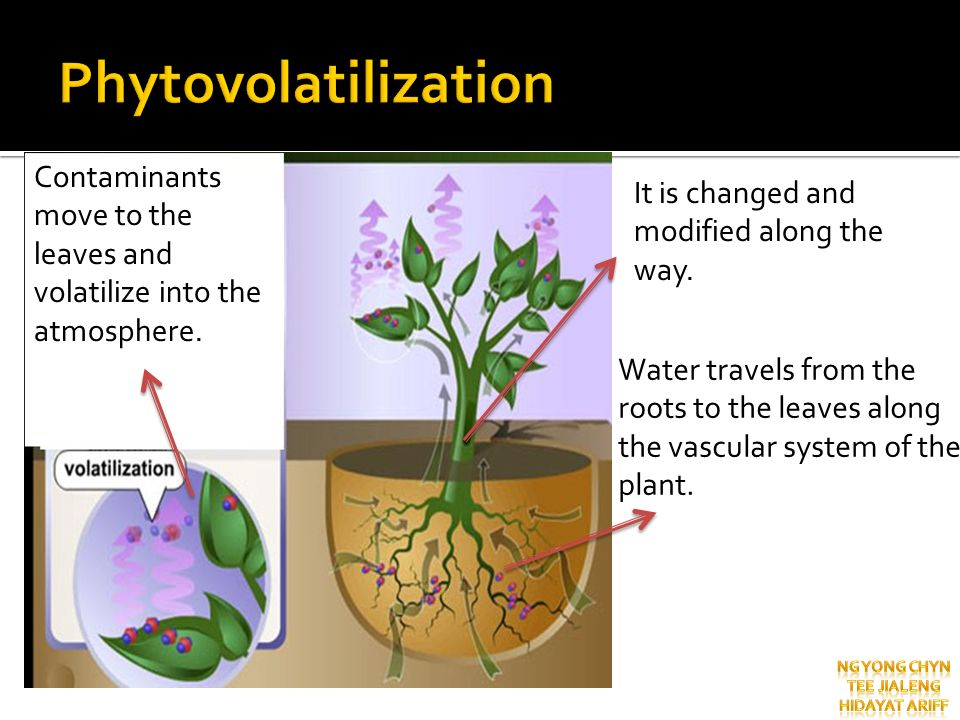 Phytovolatilization Contaminants move to the leaves and volatilize into the atmosphere. It is changed and modified along the way.