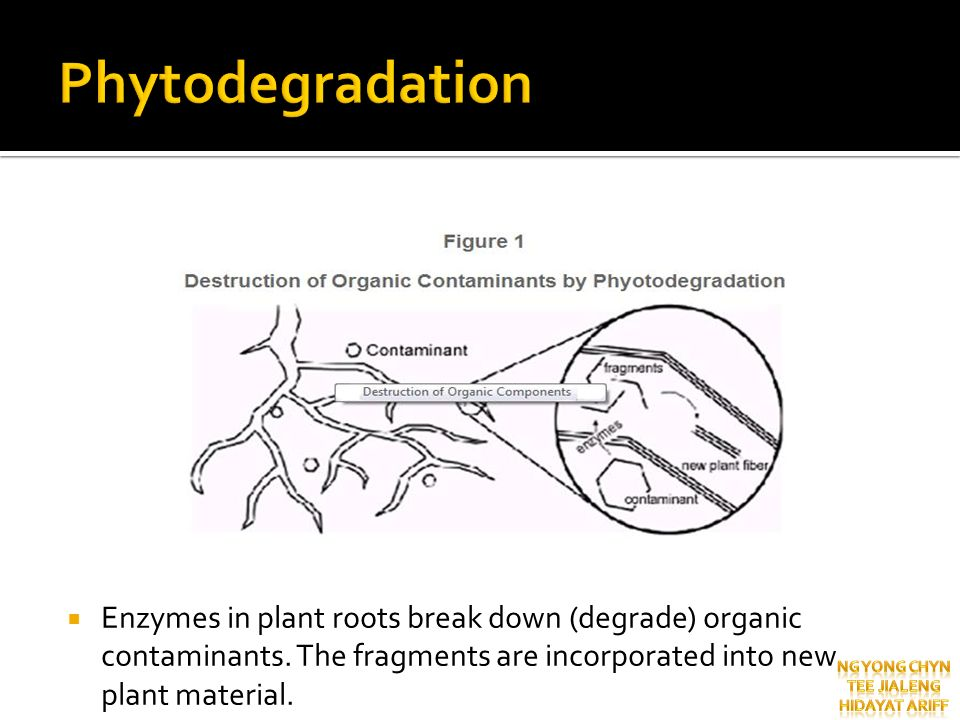 Phytodegradation Enzymes in plant roots break down (degrade) organic contaminants. The fragments are incorporated into new plant material.