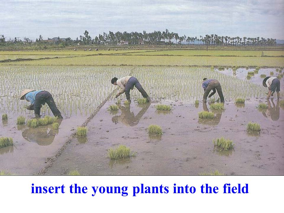 insert the young plants into the field