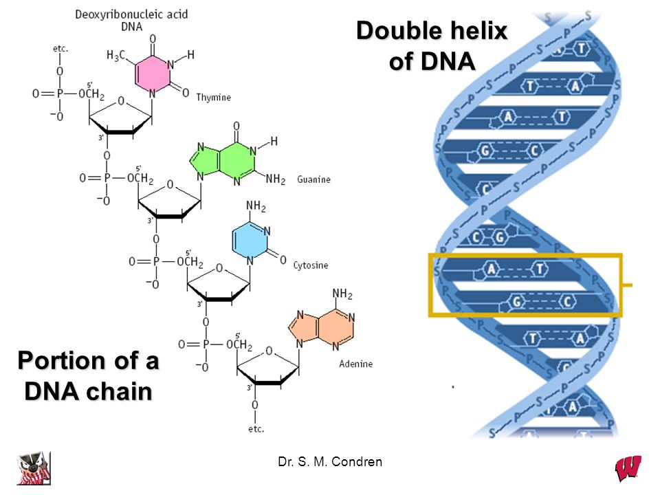 Double helix of DNA Portion of a DNA chain