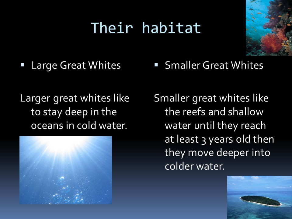 Their habitat Large Great Whites
