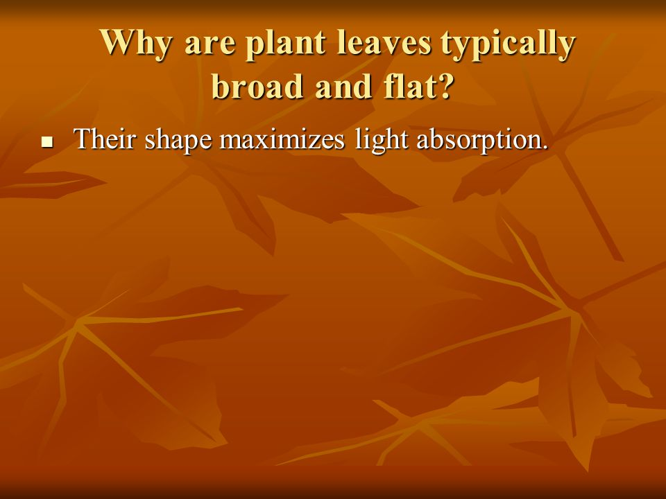 Why are plant leaves typically broad and flat