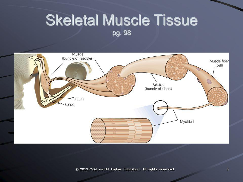 Skeletal Muscle Tissue pg. 98