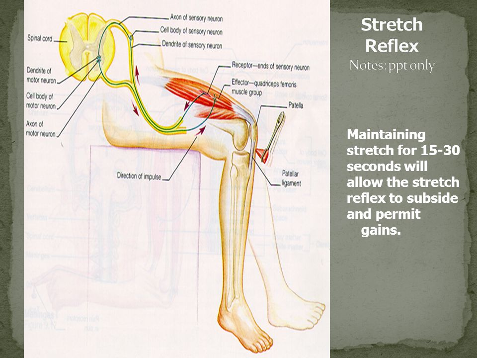 Stretch Reflex Notes: ppt only