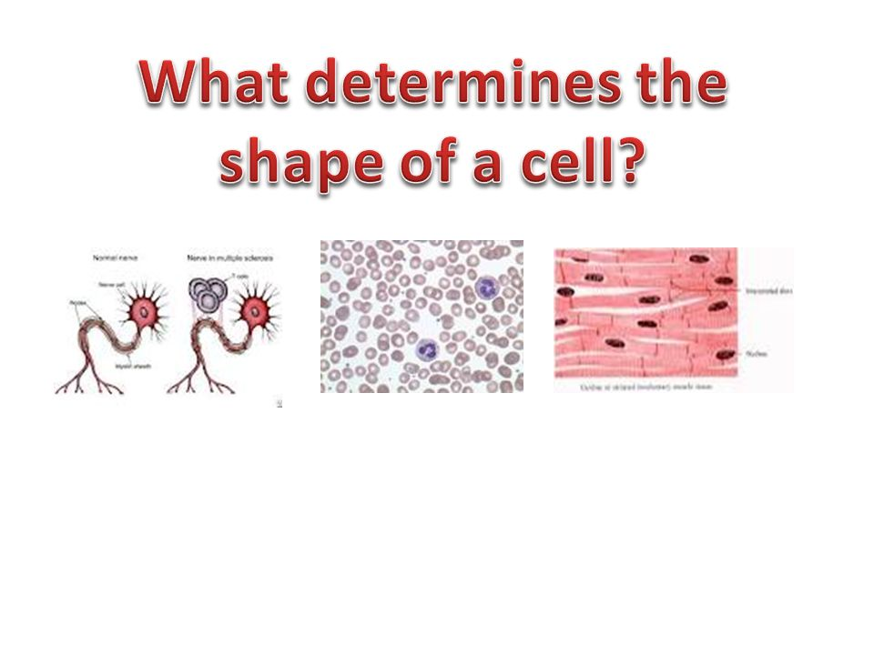 What determines the shape of a cell
