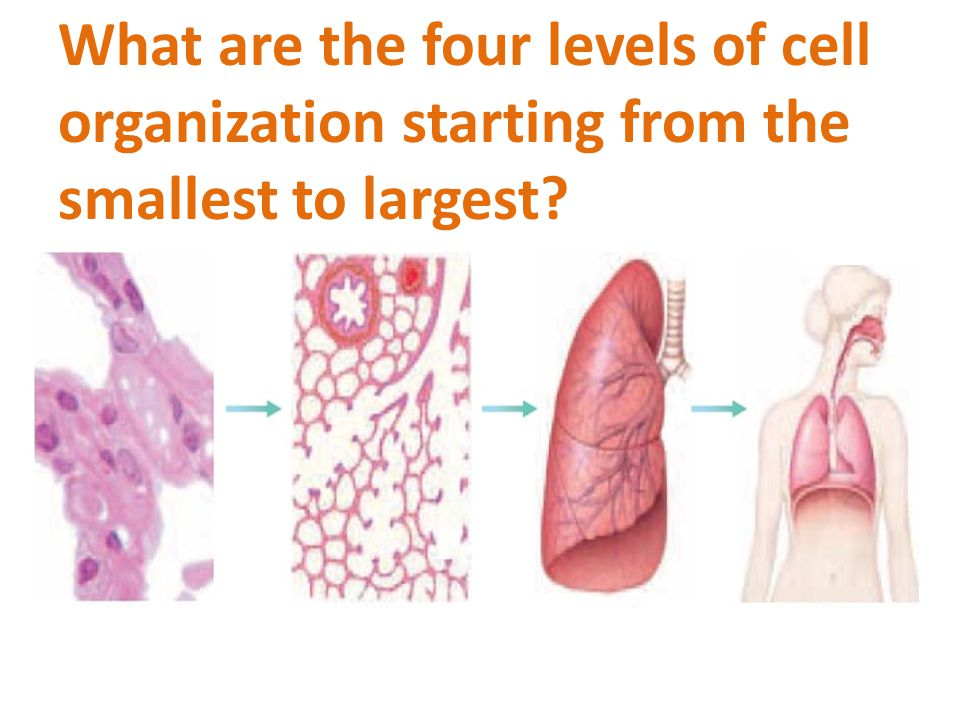 What are the four levels of cell organization starting from the smallest to largest