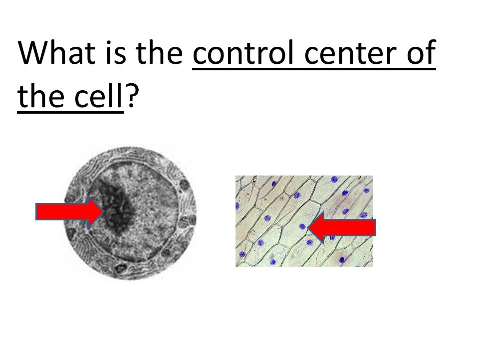 What is the control center of the cell