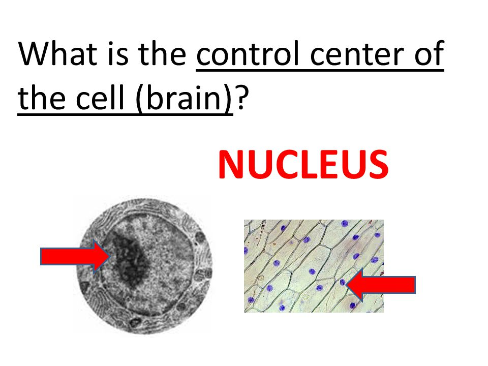 What is the control center of the cell (brain)