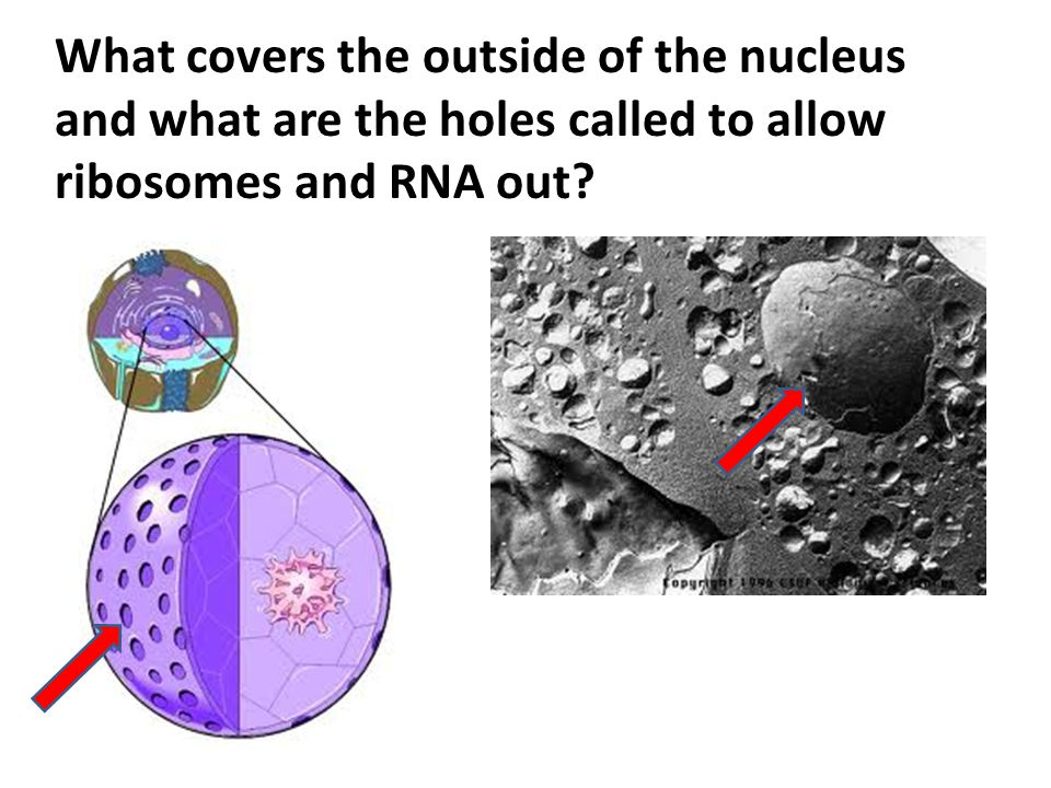 What covers the outside of the nucleus and what are the holes called to allow ribosomes and RNA out