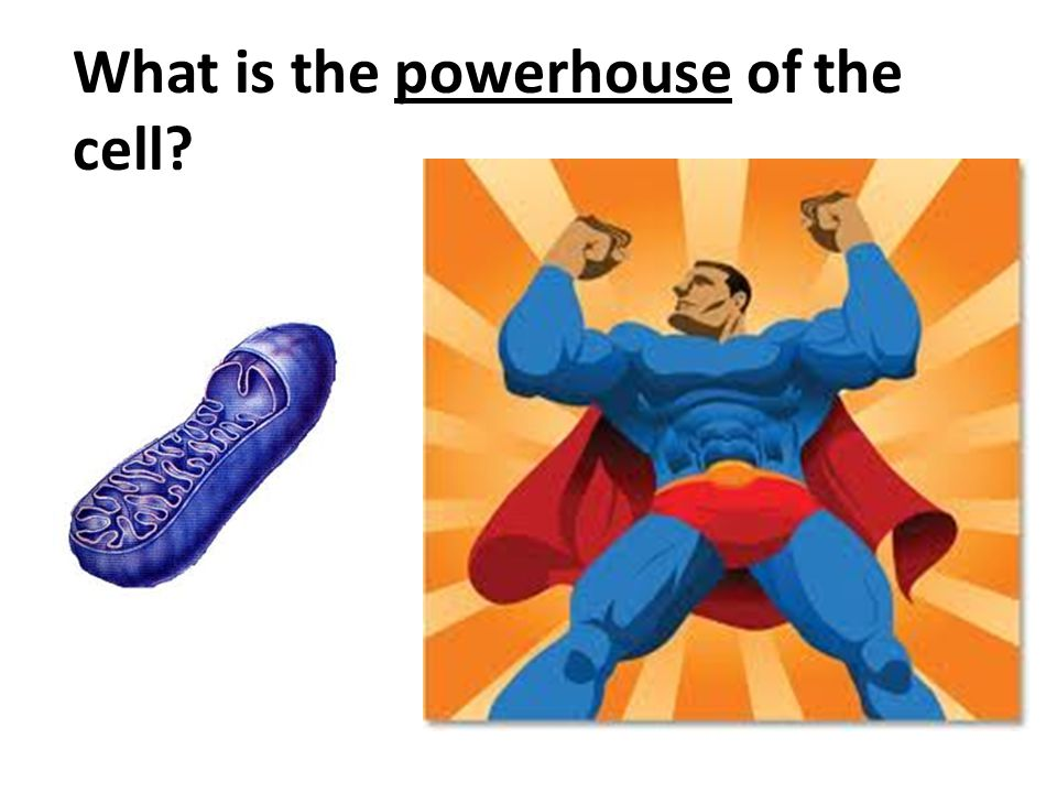 What is the powerhouse of the cell