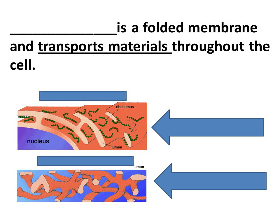 ______________is a folded membrane and transports materials throughout the cell.