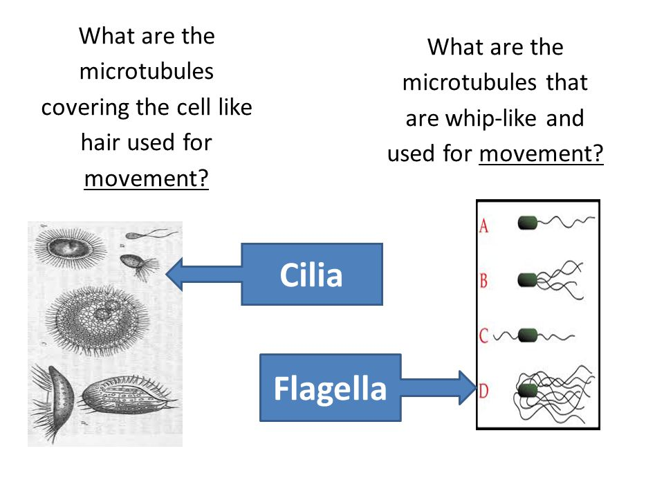 What are the microtubules that are whip-like and used for movement
