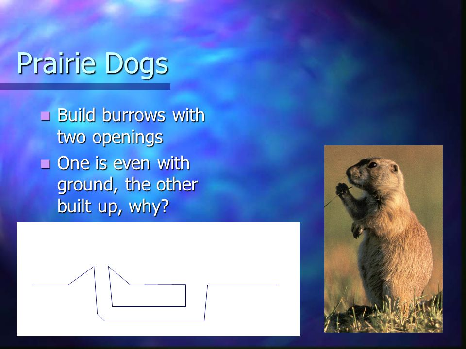 Prairie Dogs Build burrows with two openings