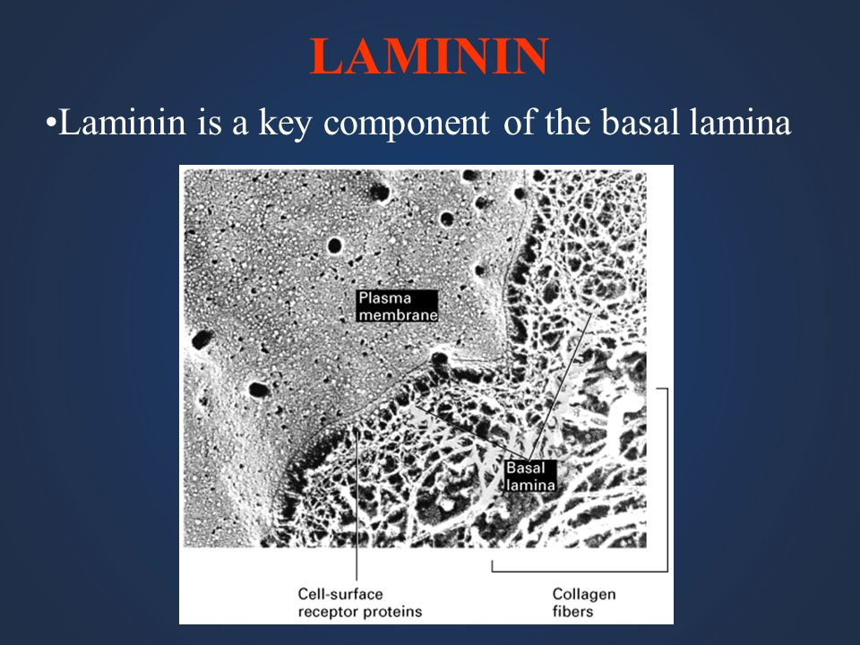 LAMININ Laminin is a key component of the basal lamina