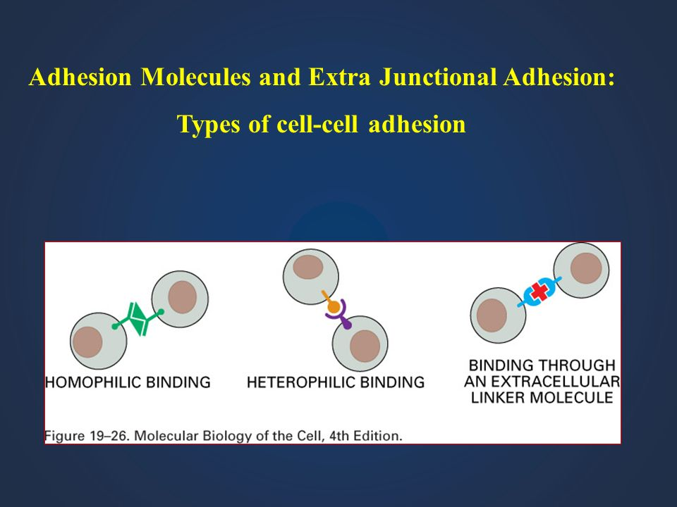 Adhesion Molecules and Extra Junctional Adhesion: