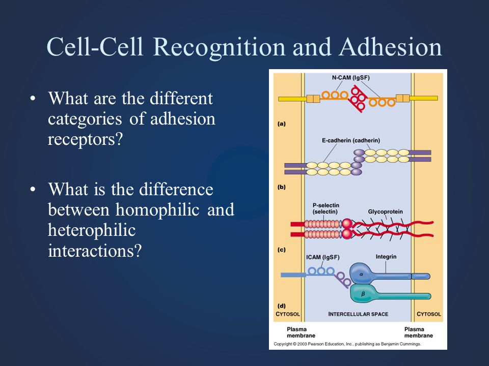 Cell-Cell Recognition and Adhesion