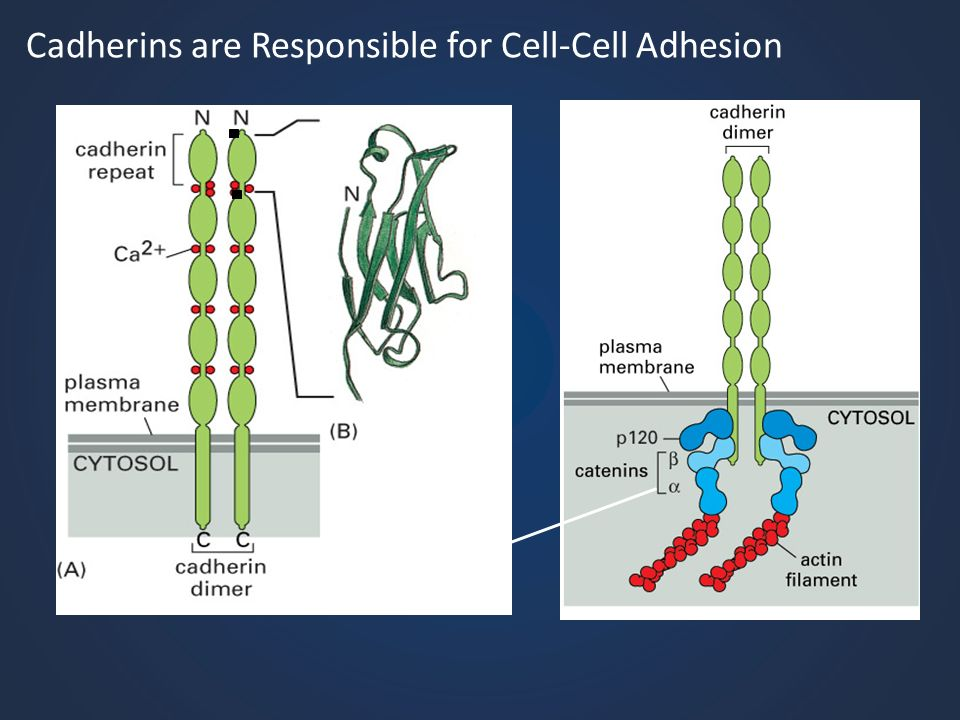 Cadherins are Responsible for Cell-Cell Adhesion