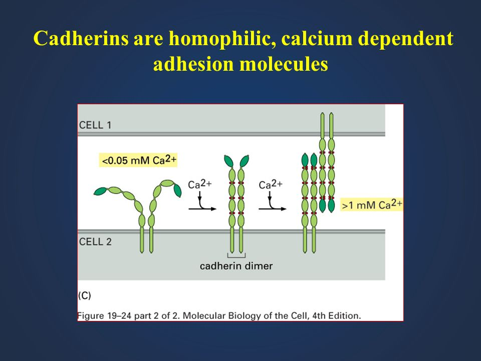Cadherins are homophilic, calcium dependent adhesion molecules