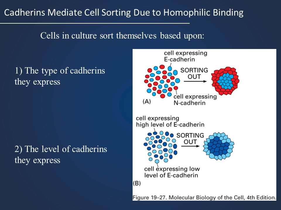 Cadherins Mediate Cell Sorting Due to Homophilic Binding