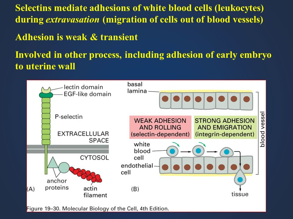 Selectins mediate adhesions of white blood cells (leukocytes) during extravasation (migration of cells out of blood vessels)
